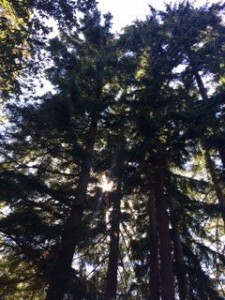 Bainbridge Island Trees